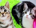 美国短毛猫 自家繁殖虎斑猫幼崽活体 立耳虎斑猫宝