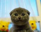 自家繁育蓝猫折耳立耳最低1500