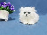 重庆梁平双血统金吉拉幼猫低价出售