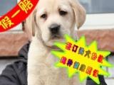 纯种拉拉幼犬实物拍摄—纯种健康签协议 多只可选
