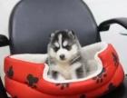 上海出售纯种哈士奇幼犬 健康保证 信誉保证 诚信保证