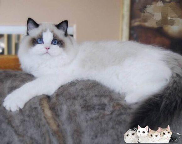 唐山哪里有布偶猫卖 海豹双色 重点手套均有CFA认可多只可挑