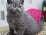 上海青浦包子臉藍貓優惠出售