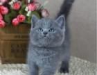 火爆出售纯种英短蓝猫幼崽 欢迎上门挑选