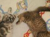 自家繁殖美国虎猫和折耳虎斑出售