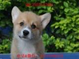 正规狗场 专业柯基犬繁殖——保证纯种健康——三年质保