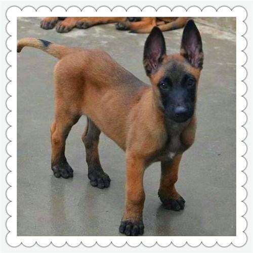 温州地区马犬繁育基地 性格好易驯服