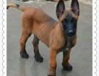 重庆地区性格欲望强劲马犬专业繁育基地