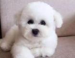比熊宝宝宠物狗狗 多少钱 长多大