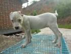 出售3个月的杜高犬