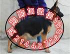 中国较大繁殖基地 出售健康纯种德国牧羊犬 签协议