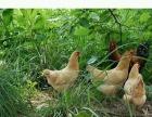 土鸡吃玉米养不起,送鸡了
