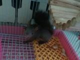 出售2只40天小松鼠