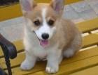 高端精品小短腿 威尔士柯基犬 实体养殖