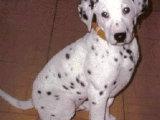 斑点狗什么价位 哪里有斑点狗 斑点狗 大麦町好养吗