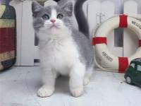三亚哪里出售纯种英国蓝白短毛猫纯种英国蓝白短毛猫多少钱一只