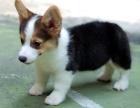 郑州纯种柯基价格 郑州哪里能买到纯种柯基犬