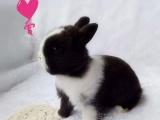 侏儒兔 兔子垂耳兔猫猫兔注射疫苗出售