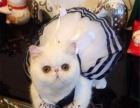 品质第一——出售纯种大脸甜美一线加菲猫