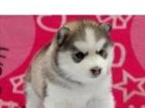 精品纯种哈士奇幼犬 三火蓝眼哈士奇雪橇犬