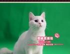 最后一只稀有帅气的白色英短小帅哥--《思晴名猫坊》