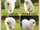 熊版双血统萨摩耶幼犬出售顶级品相高品质萨摩耶幼犬