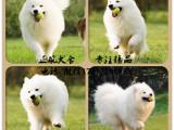 出售赛级澳版纯种萨摩耶幼犬雪橇犬 白色微笑天使