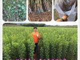 味帝李子苗品种优缺点新品种李子苗供应