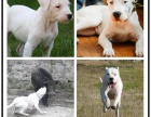 本地犬舍繁殖精品杜高犬犬 健康质保 放心挑选