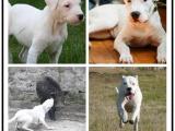 诚信出售多只杜高犬犬 疫苗打完 带疫苗本