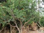 出售石榴树、石榴树苗。石榴树盆景、石榴、柿子树