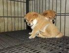 本地正规犬场一出售纯种优品日系柴犬一签协议
