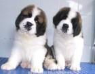 深圳出售纯种圣伯纳犬幼犬活体巨型家养大型犬救援犬宠物狗
