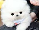 深圳哈多利球体博美 品质保证小巧可爱包纯种包健康