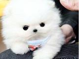 杭州纯种活泼可爱哈多利版最小球体博美出售,欢迎来挑选