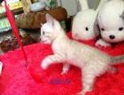 美好猫舍 孟加拉豹猫
