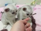 正规猫舍售高品质纯血统 渐层猫 签署质保 对外借配