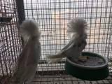精品大毛领鸽子出售