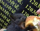 出售魔王松鼠宝宝,黄山松鼠