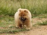 温州松狮怎么卖的 温州白色松狮多少钱一只 黑色松狮多少钱