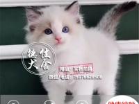 中山正规猫舍 纯种布偶猫出售 专业繁殖 包活