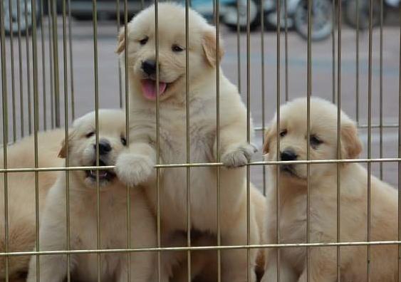 南京出售名犬 金毛 阿拉斯加 拉布拉多 巴哥 等二十个品种