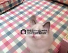 贵阳布偶猫猫舍 贵阳出售布偶猫 贵阳什么地方有卖布偶猫