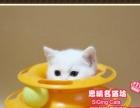 稀有的白色蓝眼英短小美女--《思晴名猫坊》