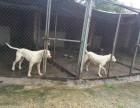 本场出售纯种杜高犬 杜高幼犬 血统好 质量保证