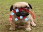 本地出售纯种巴哥幼犬 疫苗齐全包健康 可上门挑选