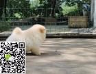 洛阳哪里有松狮出售 纯种松狮犬多少钱 洛阳哪里有犬舍