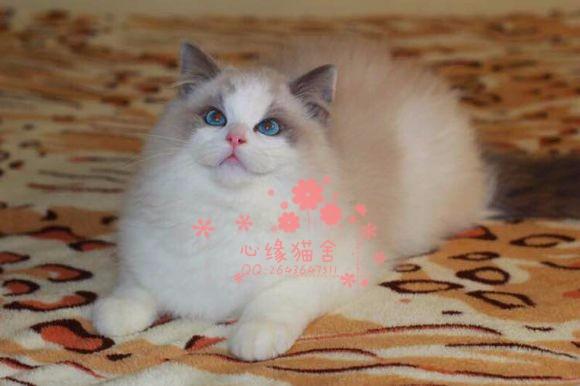 西安哪里的布偶猫比较便宜健康 西安什么地方可以买到布偶猫