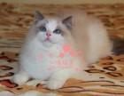 乌鲁木齐人都到哪里去买布偶猫 乌鲁木齐较便宜布偶猫价格