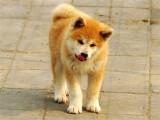 纯种的秋田犬适合小孩养吗 性格怎么样
